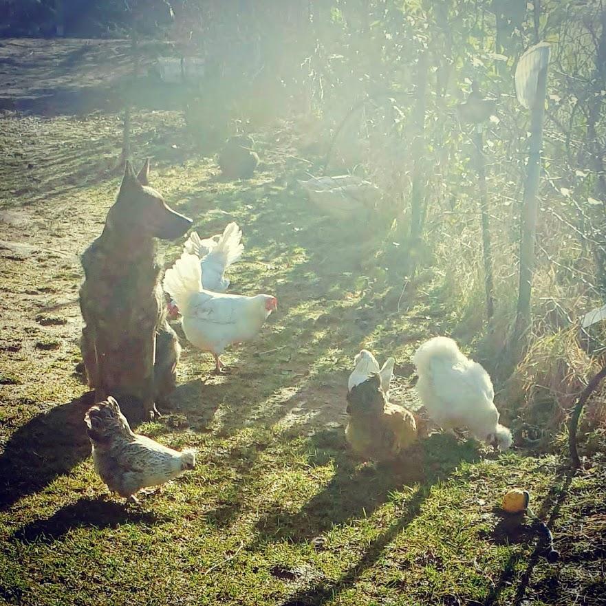 Hühnerhund im Gegenlicht